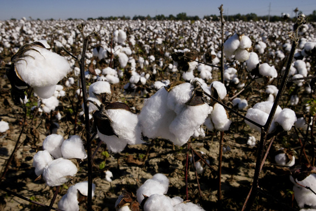 A cotton field waits to be harvested on BTC farm near Clarksdale Mississippi.