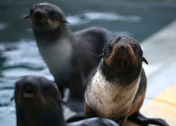 Sick and malnourished Northern Fur Seal pups sit in an enclosure at the Marine Mammal Center on November 24, 2015 in Sausalito, California. A record number of emaciated Northern Fur Seal pups have been found stranded on California beaches which scientists believe may be due to warmer waters affecting the distribution of fish.