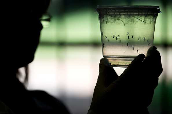 A researcher looks at Aedes aegypti mosquitoes kept in a container at a lab of the Institute of Biomedical Sciences of the Sao Paulo University, on January 8 in Sao Paulo, Brazil.