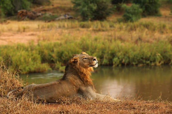 A lion relaxes on the banks of the Luvuvhu river at the Pafuri game reserve on July 21, 2010 in Kruger National Park, South Africa.