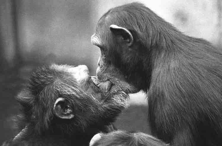 A female chimpanzee kisses an alpha male chimpanzee after a fight. Kissing as a way to reconcile is typical behavior for chimpanzees.