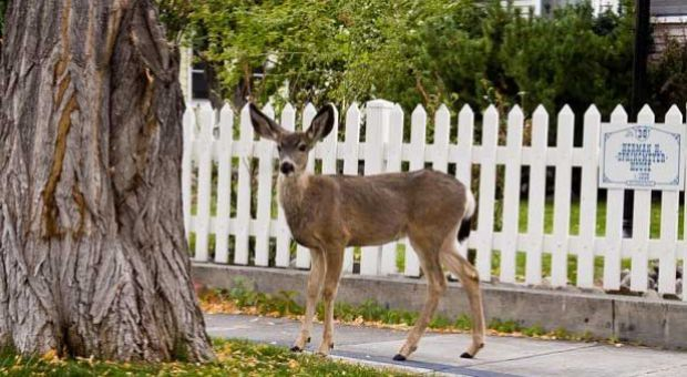 Deer in Carson City, Nev.